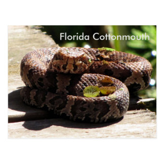 The Florida Cottonmouth - Learning Postcard