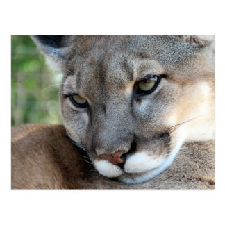 The Florida Panther - Learning Postcard