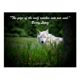 The gaze of the wolf reaches in... postcard