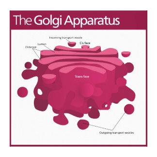 The Golgi apparatus Golgi complex Diagram Stretched Canvas Print