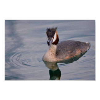 The Great Crested Grebe on water Poster
