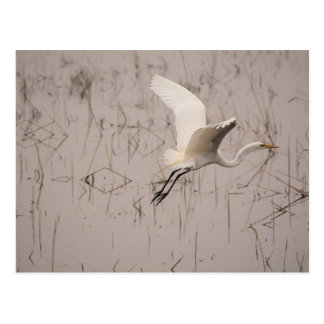 The Great Egret Postcard