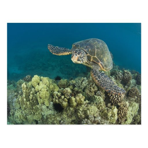 The Green Sea Turtle, (Chelonia mydas), is the 2 Post Cards