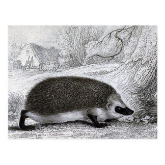 """The Hedgehog"" Postcard"