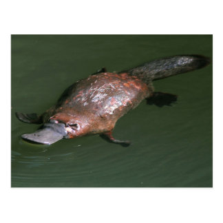 The Incredible Duck-billed Platypus Postcard