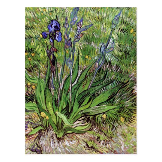 The Iris by Vincent van Gogh Postcard