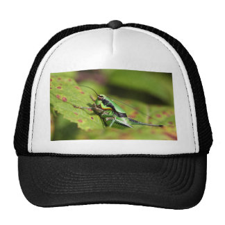 The katydid cricket Eupholidoptera chabrieri Cap