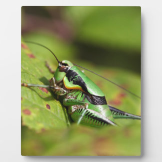 The katydid cricket Eupholidoptera chabrieri Plaque