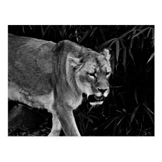 The Lioness Postcard