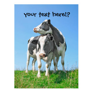 The looking cows postcard