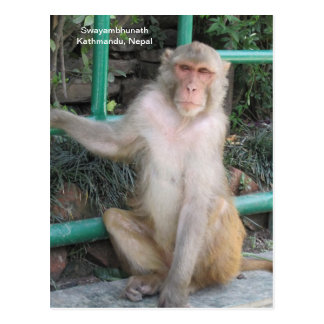 The Monkeys of Swayambhunath Postcard