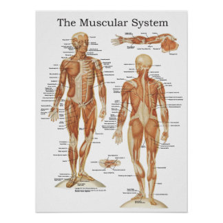 The Muscular System Anatomy Poster 18 X 24
