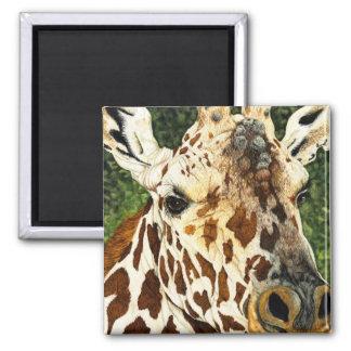 The Old Bachelor Giraffe Square Magnet