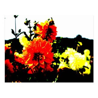 The photograph of the dahlia which was processed postcard