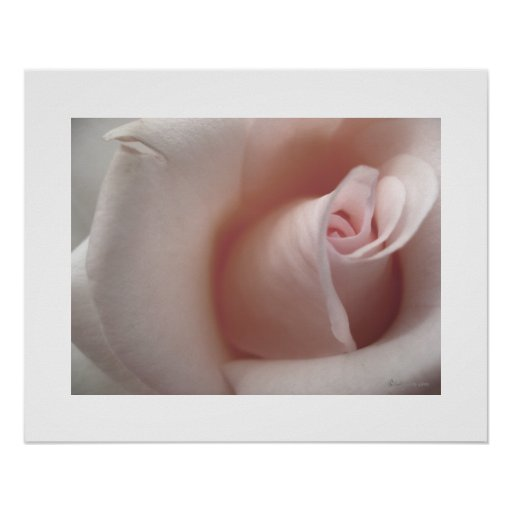 The Pink Rose Poster Print
