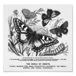 The Puss Moth - Vintage 1857 Archival Print