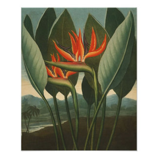 'The Queen (Bird of Paradise)' - Temple of Flora Poster