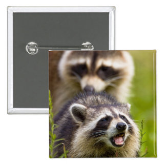 The raccoon, Procyon lotor, is a widespread, 15 Cm Square Badge