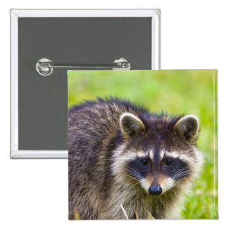 The raccoon, Procyon lotor, is a widespread, 2 15 Cm Square Badge