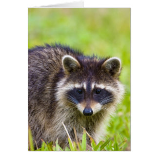 The raccoon, Procyon lotor, is a widespread, 2 Cards