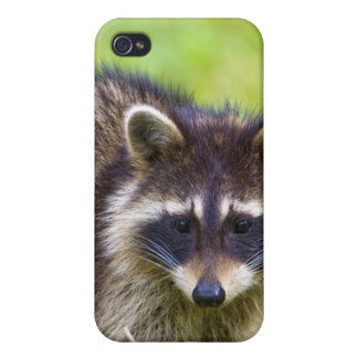 The raccoon, Procyon lotor, is a widespread, 2 iPhone 4 Cover