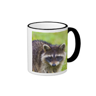 The raccoon, Procyon lotor, is a widespread, 2 Mugs