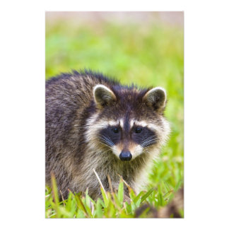 The raccoon, Procyon lotor, is a widespread, 2 Photo