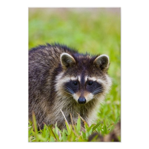 The raccoon, Procyon lotor, is a widespread, 2 Print