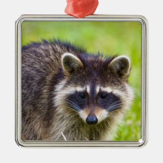 The raccoon, Procyon lotor, is a widespread, 2 Silver-Colored Square Decoration