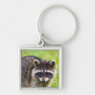The raccoon, Procyon lotor, is a widespread, 2 Silver-Colored Square Key Ring