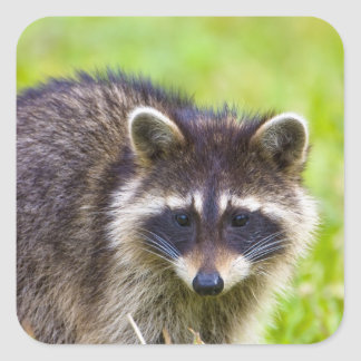The raccoon, Procyon lotor, is a widespread, 2 Square Stickers