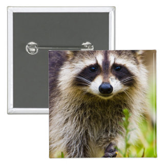 The raccoon, Procyon lotor, is a widespread, 3 15 Cm Square Badge