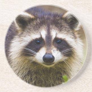 The raccoon, Procyon lotor, is a widespread, 3 Beverage Coasters