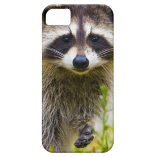 The raccoon, Procyon lotor, is a widespread, 3 iPhone 5 Cover