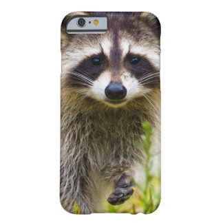 The raccoon, Procyon lotor, is a widespread, 3 Barely There iPhone 6 Case