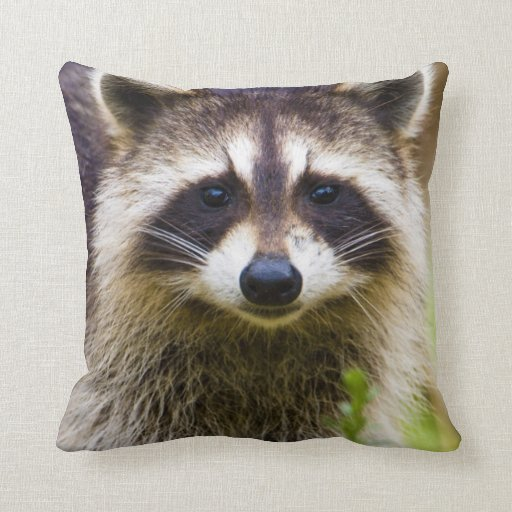 The raccoon, Procyon lotor, is a widespread, 3 Pillows