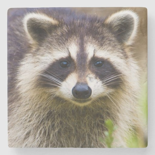 The raccoon, Procyon lotor, is a widespread, 3 Stone Coaster