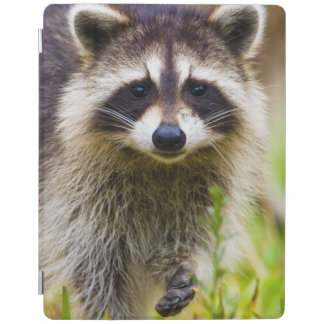 The raccoon, Procyon lotor, is a widespread, 3 iPad Cover