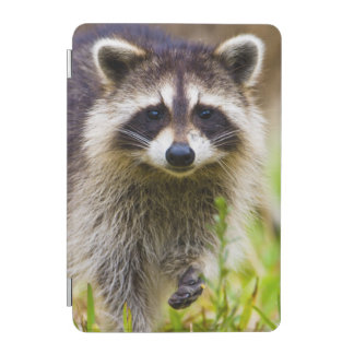 The raccoon, Procyon lotor, is a widespread, 3 iPad Mini Cover