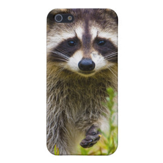 The raccoon, Procyon lotor, is a widespread, 3 iPhone 5 Covers