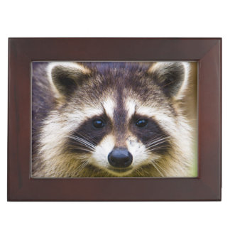 The raccoon, Procyon lotor, is a widespread, 3 Keepsake Boxes