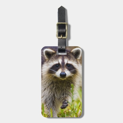 The raccoon, Procyon lotor, is a widespread, 3 Tags For Bags