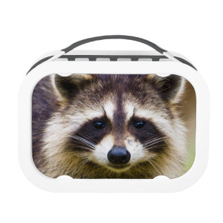 The raccoon, Procyon lotor, is a widespread, 3 Yubo Lunch Box