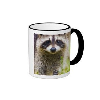 The raccoon, Procyon lotor, is a widespread, 3 Coffee Mug