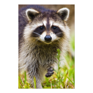 The raccoon, Procyon lotor, is a widespread, 3 Photographic Print