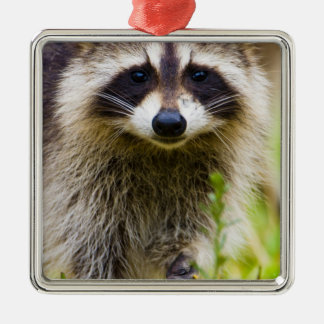 The raccoon, Procyon lotor, is a widespread, 3 Silver-Colored Square Decoration