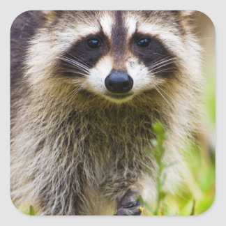 The raccoon, Procyon lotor, is a widespread, 3 Square Stickers