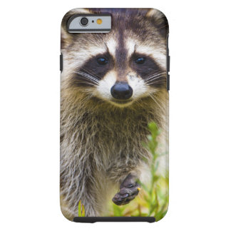 The raccoon, Procyon lotor, is a widespread, 3 Tough iPhone 6 Case