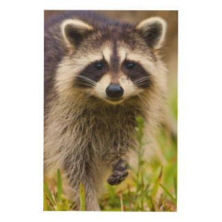 The raccoon, Procyon lotor, is a widespread, 3 Wood Prints