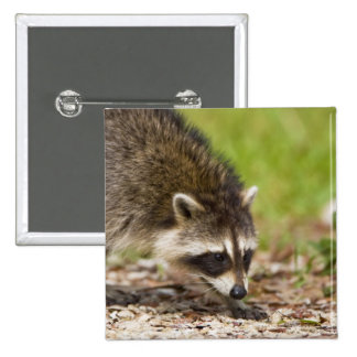 The raccoon, Procyon lotor, is a widespread, 4 15 Cm Square Badge